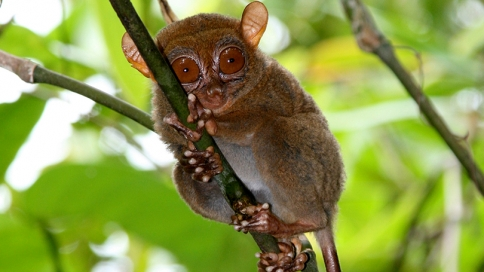 a Philippine tarsier clinging to a tree branch