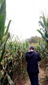 person in a cornfield