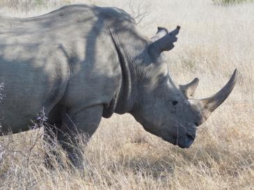 Timbavati rhino