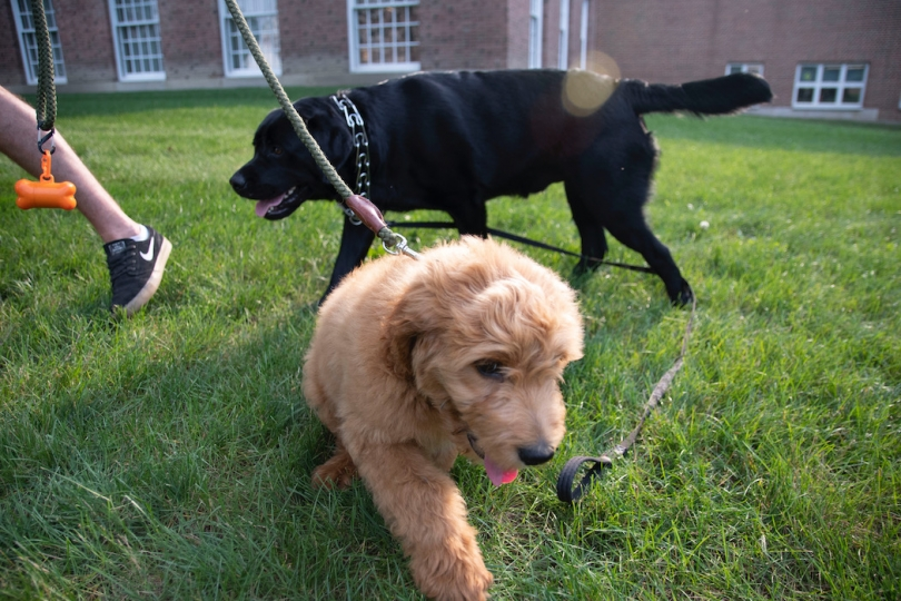 Golden doodle puppy with full-sized black lab behind him.