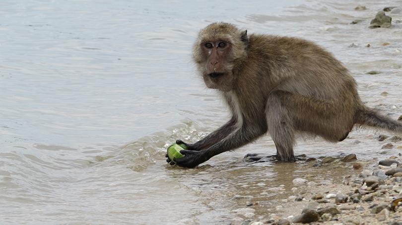 Maylay Macaque