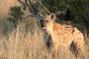 Hyena in Timbavati