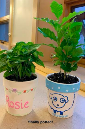 My plant Snowball (on the right) and Abigail's plant Rosie (on the left)