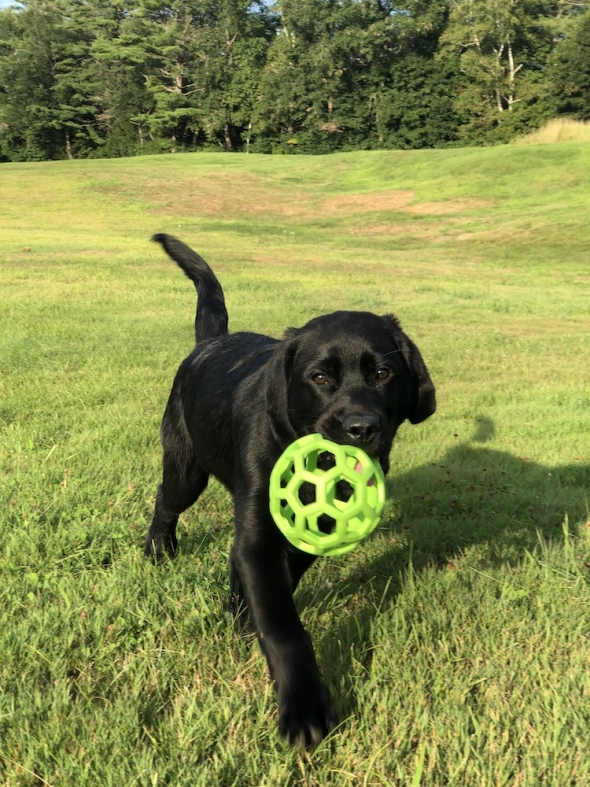 Black lab puppy with ball in mouth